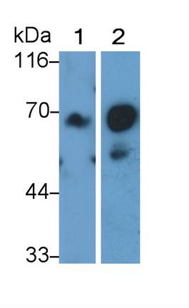 Polyclonal Antibody to Prolactin Receptor (PRLR)