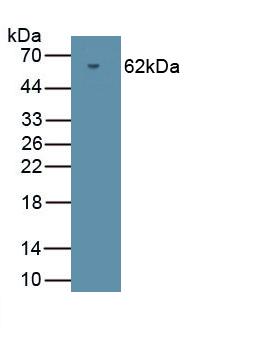 Polyclonal Antibody to Protein Kinase, cGMP Dependent Type II (PRKG2)