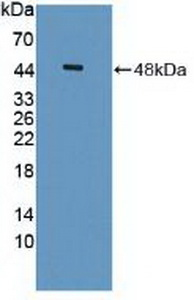 Polyclonal Antibody to Immunoglobulin Superfamily Containing Leucine Rich Repeat Protein (ISLR)