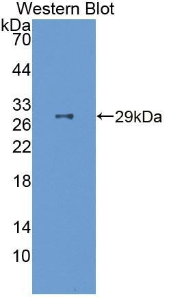 Polyclonal Antibody to Follistatin Like Protein 3 (FSTL3)