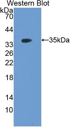 Polyclonal Antibody to Follistatin Like Protein 1 (FSTL1)