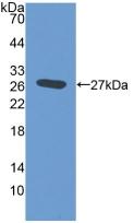 Polyclonal Antibody to Elastin Microfibril Interface Located Protein 2 (EMILIN2)