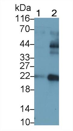 Polyclonal Antibody to Casein Kappa (CSN3)