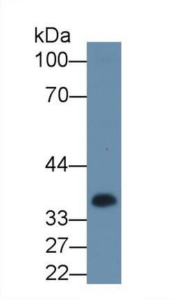 Polyclonal Antibody to Casein Alpha (CSN1)