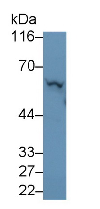 Polyclonal Antibody to Lecithin Cholesterol Acyltransferase (LCAT)