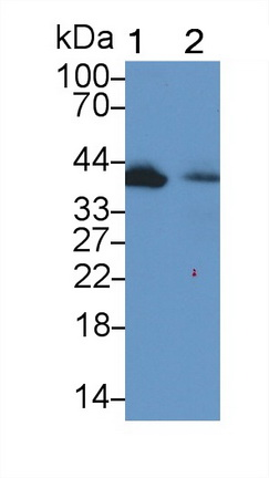 Polyclonal Antibody to Wingless Type MMTV Integration Site Family, Member 1 (WNT1)