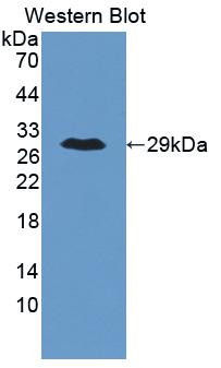 Polyclonal Antibody to Angiopoietin Like Protein 6 (ANGPTL6)