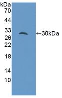 Polyclonal Antibody to GRB2 Associated Binding Protein 3 (GAB3)