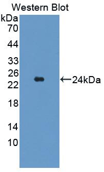 Polyclonal Antibody to TAK1 Like Protein (TAK1L)