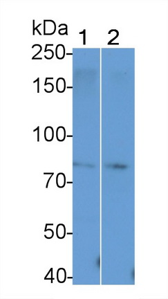 Polyclonal Antibody to T-Cell Activation Rho GTPase Activating Protein (TAGAP)