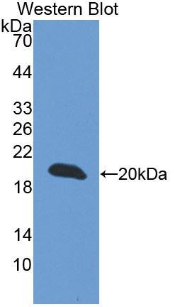 Polyclonal Antibody to Cellular Repressor Of E1A Stimulated Genes 1 (CREG1)