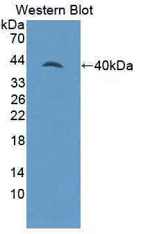 Polyclonal Antibody to G Protein Gamma 8 (GNg8)