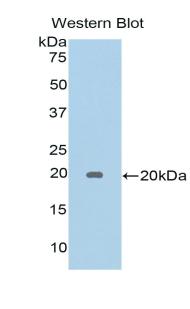 Polyclonal Antibody to Galectin 5 (GAL5)
