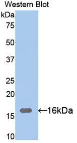 Polyclonal Antibody to Ribonuclease A12 (RNASE12)