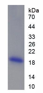 Recombinant Angiopoietin 1 (ANGPT1)