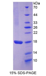 Recombinant Angiopoietin 2 (ANGPT2)