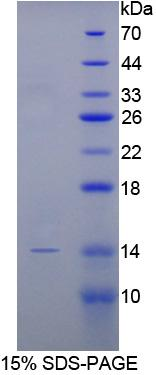Recombinant Bone Morphogenetic Protein 2 (BMP2)