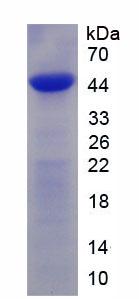 Recombinant Bone Morphogenetic Protein 4 (BMP4)