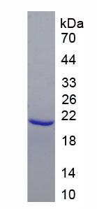 Recombinant Erythropoietin Receptor (EPOR)