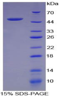 Recombinant Factor Related Apoptosis Ligand (FASL)