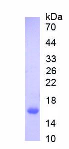 Recombinant Interferon Alpha (IFNa)