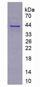 Recombinant FMS Like Tyrosine Kinase 3 Ligand (Flt3L)