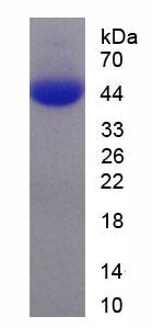 Recombinant Chemokine C-X3-C-Motif Ligand 1 (CX3CL1)