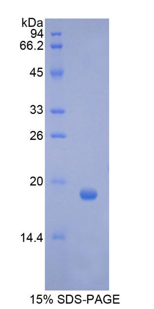 Recombinant Colony Stimulating Factor 3, Granulocyte (GCSF)