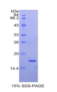 Recombinant Interferon Gamma (IFNg)