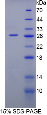 Recombinant Interleukin 12A (IL12A)