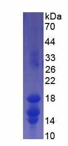 Recombinant Interleukin 15 (IL15)