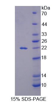 Recombinant Interleukin 18 (IL18)