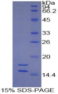 Recombinant Interleukin 1 Alpha (IL1a)