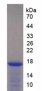 Recombinant Interleukin 2 (IL2)