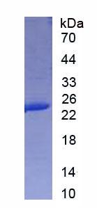 Recombinant Interleukin 6 (IL6)