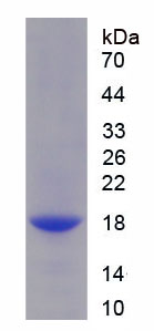 Recombinant Interleukin 9 (IL9)