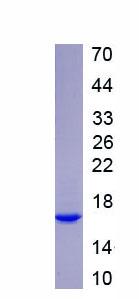 Recombinant Monocyte Chemotactic Protein 1 (MCP1)