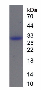 Recombinant Caspase 11 (CASP11)