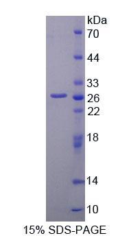 Recombinant Matrix Metalloproteinase 2 (MMP2)
