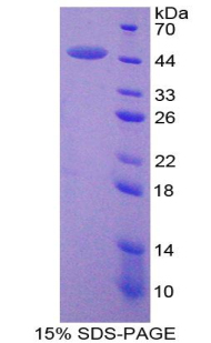 Recombinant Matrix Metalloproteinase 3 (MMP3)