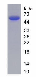Recombinant Matrix Metalloproteinase 7 (MMP7)