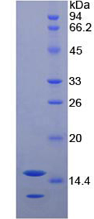 Recombinant Neurotrophin 3 (NT3)