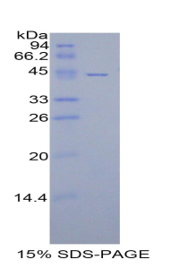 Recombinant Cluster Of Differentiation 40 Ligand (CD40L)