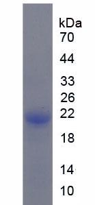 Recombinant Stem Cell Factor Receptor (SCFR)