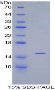 Recombinant Transforming Growth Factor Beta 1 (TGFb1)
