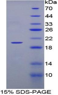 Recombinant Tumor Necrosis Factor Beta (TNFb)