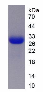 Recombinant Neutrophil Elastase (NE)