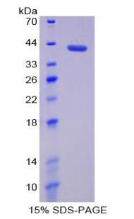 Recombinant Matrix Metalloproteinase 23A (MMP23A)