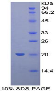 Recombinant Cyclophilin B (CYPB)