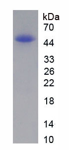 Recombinant Natriuretic Peptide Precursor A (NPPA)